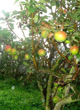 Kebun Apel Kusumo Agro