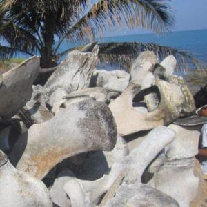 Fosil Hiu Gili Iyang